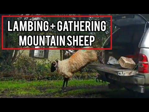 LAMBING AND GATHERING MOUNTAIN SHEEP