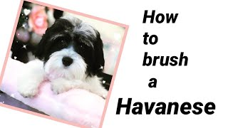 Havanese How to Brush and Comb