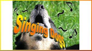 音楽に合わせたり、声に合わせたり歌う犬達に癒やされます.