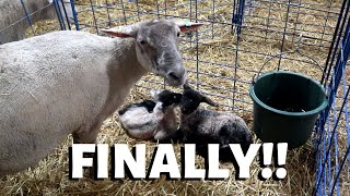 i-ve-waited-20-days-for-these-lambs-vlog-206