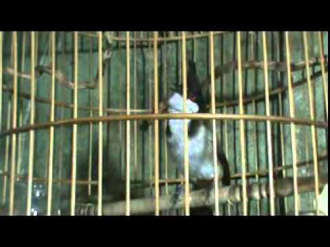 chao mao an khe (co 1 ko 2)