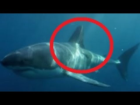 9 Foot Shark Eaten By Mysterious Sea Creature - YouTube