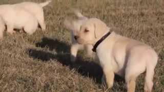 Yellow Labrador Retriever Puppies For Sale