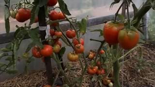 Ускоренное созревание помидоров.  Томаты в теплице  - Часть 6(В этом видеоролике мы показываем низкорослые томаты в теплице. Для ускорения созревания помидор мы обрезал..., 2016-07-26T18:44:22.000Z)