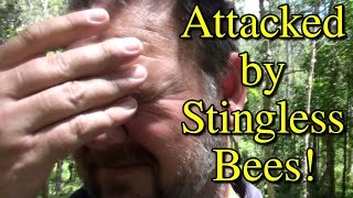 Attacked By Stingless Native Bees Plus Hive Splitting & More