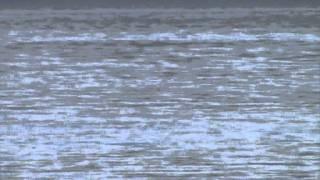 delfini a mali iz - otok iz -croazia