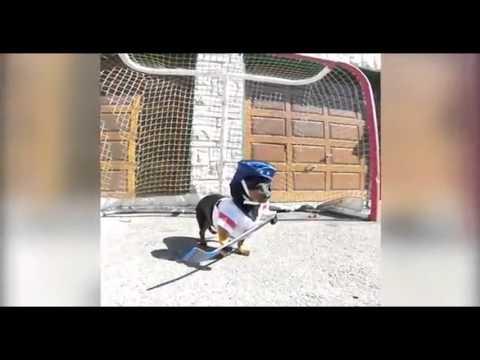 Celebrity Dachshund Crusoe plays hockey in full sporting gear
