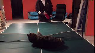 Jimba the ping pong cat