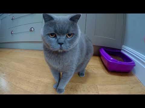 Kitten meets British Shorthair friends