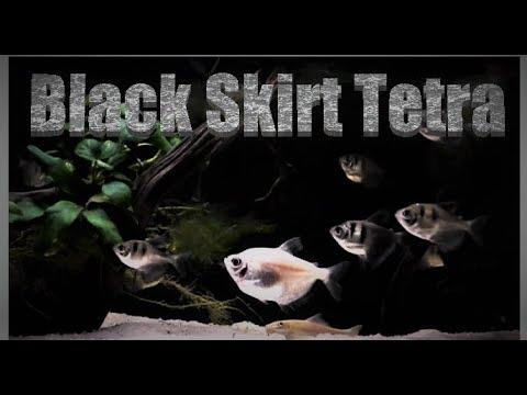 Black Skirt Tetra Care & Tank Set Up Guide