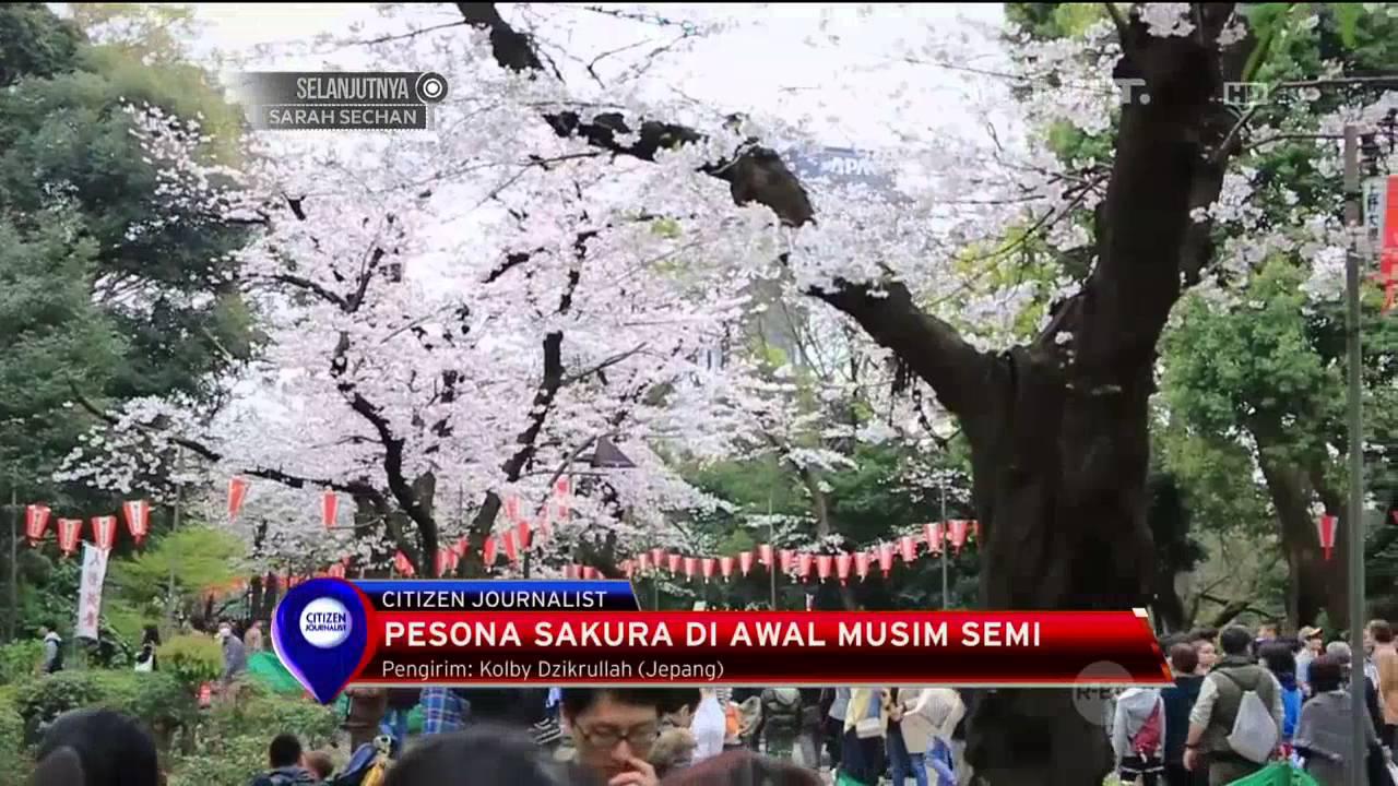 Masa Mekar Singkat Bunga Sakura Jadi Objek Wisata Di Jepang Net12