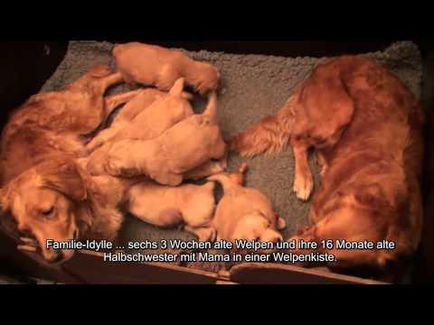 Hundewelpen Golden Retriever Hundevideo - HUND-unterwegs.de