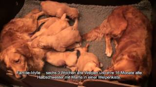 Hundewelpen Golden Retriever Hundevideo - Hund-unterwegs.de