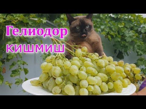 Виноград ГЕЛИОДОР кишмиш мускат (95 дней)