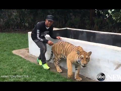 Lewis Hamilton Scares a Tiger