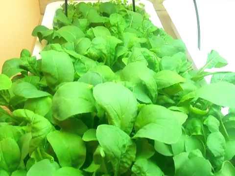 Indoor Hydroponics gardening - Dubai