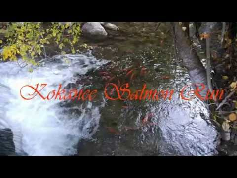 Kokanee salmon run on the Little Bear River