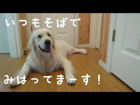 お仕事に行ってほしくない英国ゴールデンレトリバーギンちゃん(1歳)【Golden Retriever】