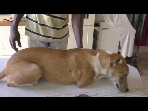 CTVT in the skin of a 6 months old dog in The Gambia