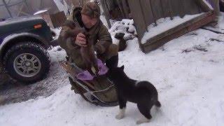 видео Дресирування лайки для полювання