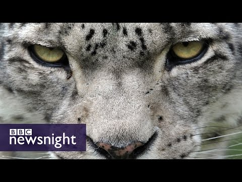 The secret life of the snow leopard - Newsnight