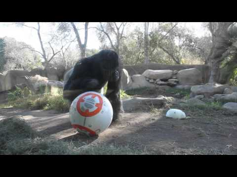 Gorillas Playing with Star Wars Droid - SANTA BARBARA ZOO