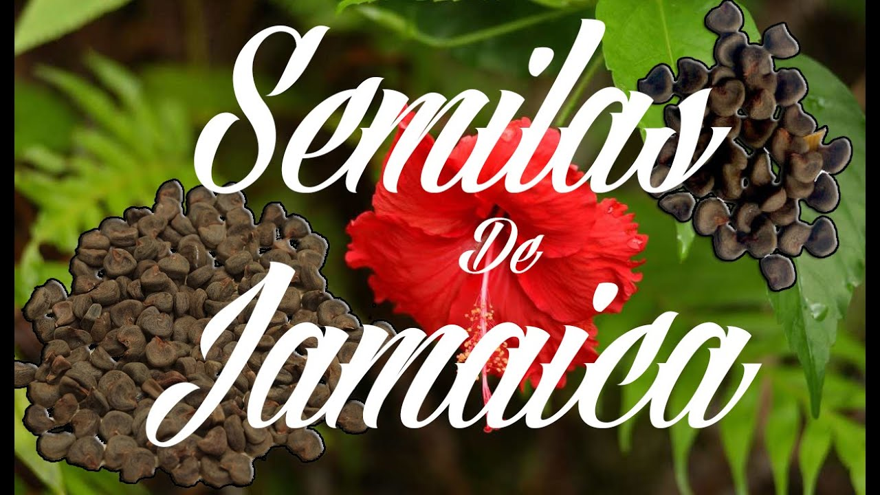 flor de jamaica semilla