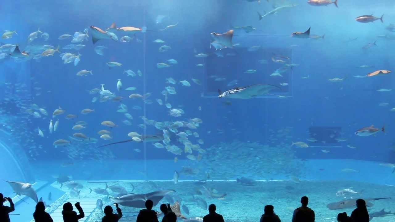 3d Wallpaper Live Fish Okinawa Churaumi Aquarium Kuroshio Sea Full Hd Youtube