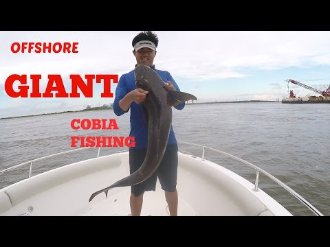 GIANT Cobia Offshore Fishing (Galveston,Texas)