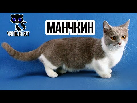 ✔ Коротколапый манчкин кошка такса
