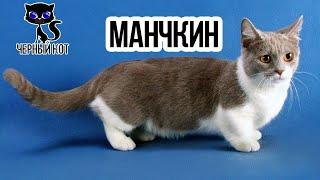 Коротколапый манчкин - кошка такса / Интересные факты о кошках