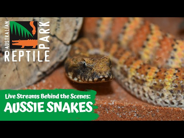 AUSTRALIA'S VENOMOUS SNAKES (LIVE FOOTAGE) | AUSTRALIAN REPTILE PARK