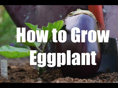 How to Grow Flavorful Eggplant