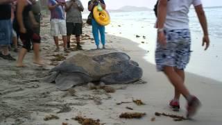 кожистая черепаха отложила яйца и уплыла.