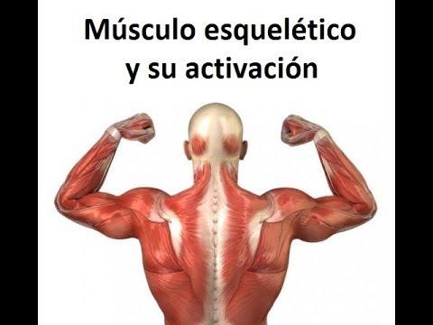 Músculo esquelético y su activación - YouTube