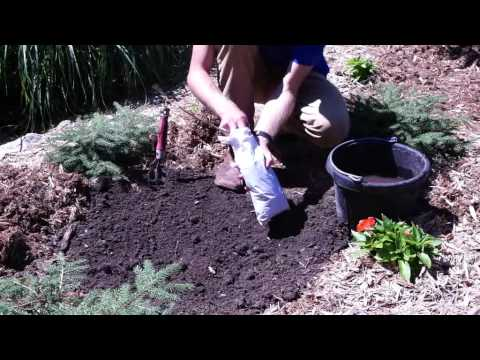 How to Plant Campsis Radicans: Orange Trumpet Creeper