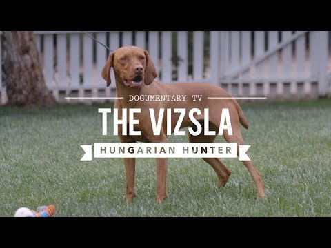 ALL ABOUT VIZSLA: HUNGARIAN SPORTING DOG