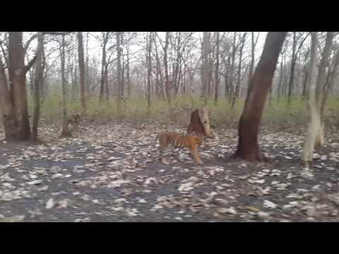 Tiger in woods... Wayanad - karnataka border, bandipur tiger reserve