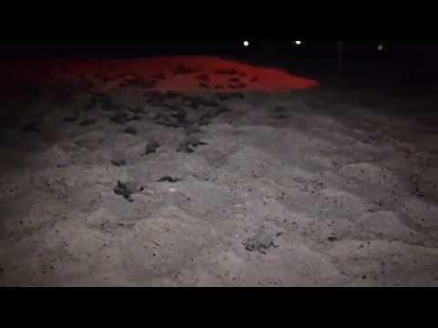 "Sea Turtles Hatching ""St. Augustine Beach, Florida"""