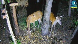 Młody jelonek 🦌 z mamą ❤️ w karmisku dla dzikich zwierząt w lesie
