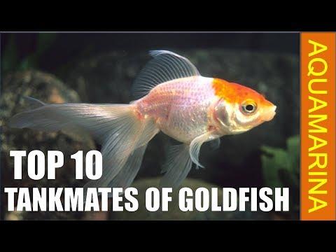 Top 10 Tankmates Of Goldfish   Fishes Those Are Compatible With Goldfish    Aquamarina