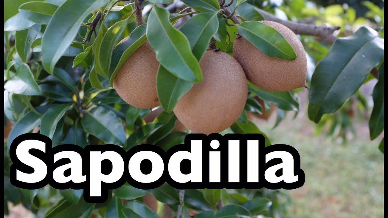 All About Sapodilla!