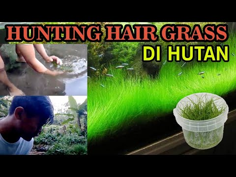 hunting-hair-grass-tanaman-aquascape