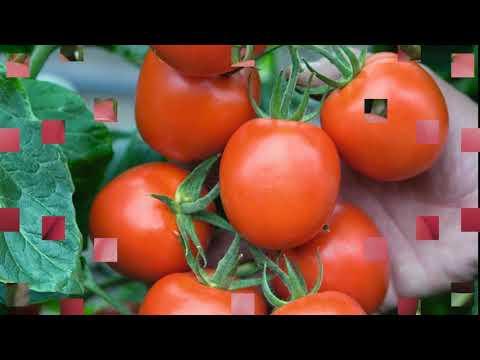 Голландские семена в Могилёве