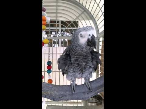 My African Grey dancing to Happy by Pharrell