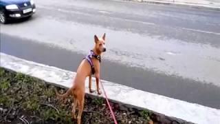Тайский риджбек  Прогулка