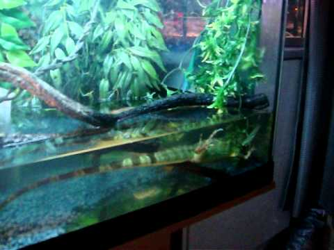 Chinese Water Dragons Swimming And Blowing Bubbles Underwater Youtube