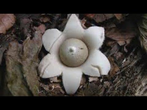 грибы в лесу-звездовик - Geastrum