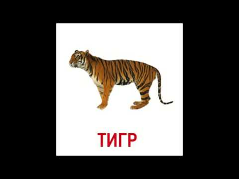 Тигр картинка для английского моногамны, период