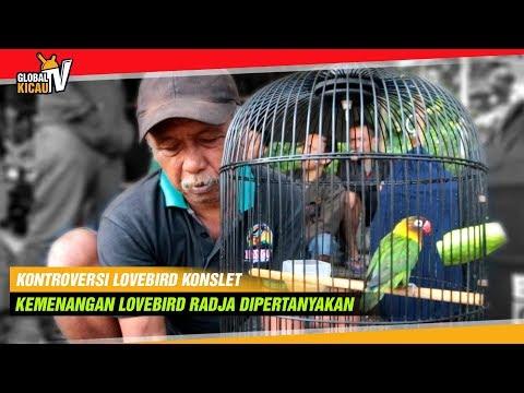 KONTROVERSI : Diduga KONSLET Kemenangan Lovebird RADJA Dipertanyakan! Berikut Penjelasan Juri